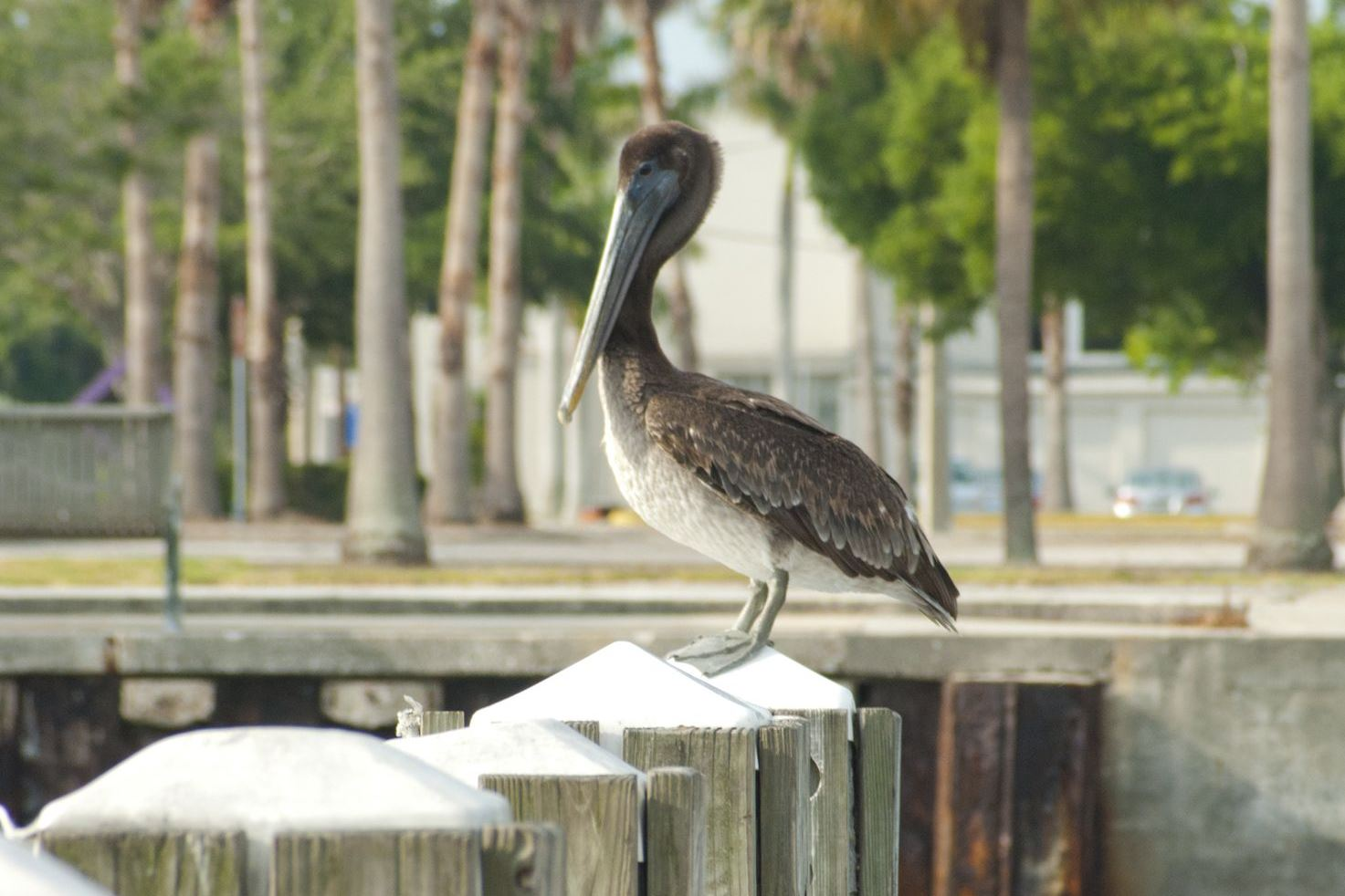Brown Pelican at Sarasota's bayfront docks